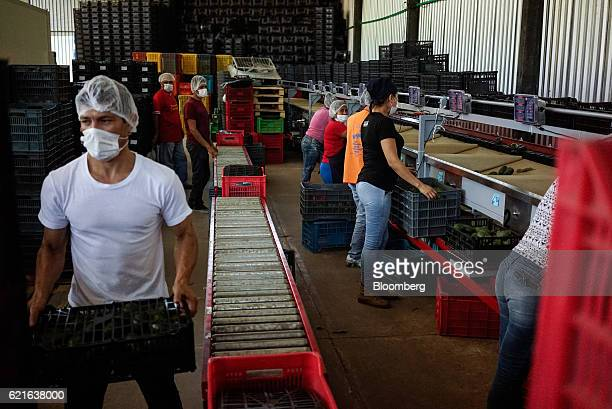 Workers place avocados in crates as they move down a conveyor belt at a packing facility in Nayarit Mexico on Friday Nov 4 2016 The demand for...
