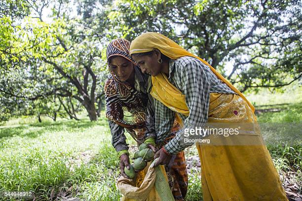 Workers place mangoes in a sack at an orchard on the family farm of landowner Kunwar Vikram Jeet Singh in Kuchesar Uttar Pradesh India on Tuesday May...
