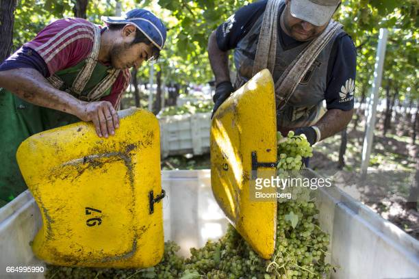 Workers place white wine grapes into a bin at the Bodega Santa Julia Finca Maipu vineyard in Mendoza Argentina on Tuesday March 23 2017 The Argentine...