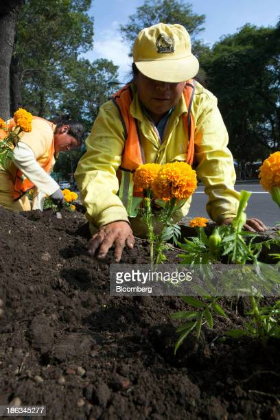 Workers plant Cempazuchitl flowers along Reforma Avenue near the National Auditorium in Mexico City Mexico on Tuesday Oct 29 2013 Cempazuchitl...