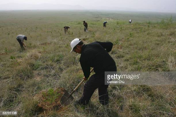 Workers plant trees on grassland at an ecological area on July 13 2005 in Zhenglan County of Xilingguole League Inner Mongolia Autonomous Regional of...