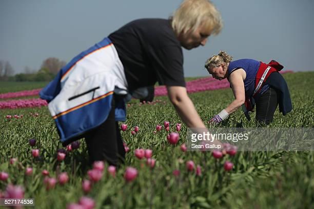 Workers pluck the flower heads off tulips at the Degenhardt-Sellmann Spezialkulturen tulip fields near Magdeburg on May 2, 2016 in Schwaneberg,...