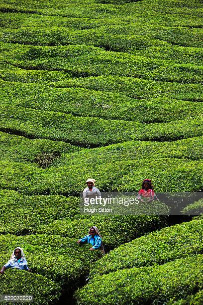 workers plucking tea leaves - hugh sitton stock-fotos und bilder