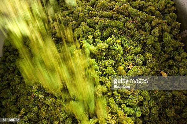 Workers pour Chardonnay grapes into the pressing machine at the Ridgeview Estate Winery in Sussex UK on Thursday Oct 13 2016 Then UK Environment...