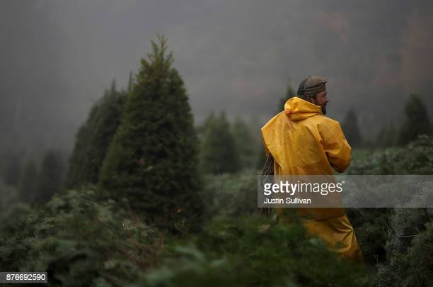 A workers preapres to bundle up freshly harvested Douglas Fir Christmas trees that will be lifted by helicopter from a field at the Holiday Tree...