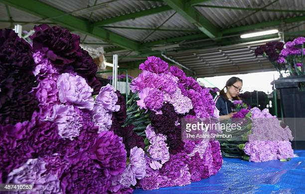 Workers prepare for blue carnation 'Moon Dust' shipment ahead of the Mother's Day on April 30 2014 in Shibayama Chiba Japan The carnation implanted...