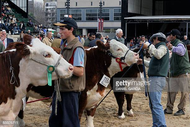 Workers prepare Hereford heifers for their valuation 01 August 2005 during the 119th Rural Expo in Buenos Aires AFP PHOTO DANIEL GARCIA Peones...