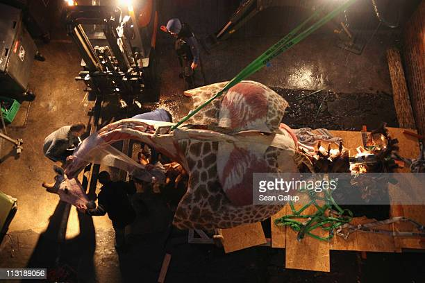 Workers prepare to lift the plastinated body of a real giraffe corpse with fork lifters into its exhibition space in preparation for the Body Worlds...