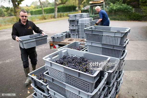 Workers prepare to weigh Pinot Meunier grapes after being picked at the Ridgeview Estate Winery in Sussex UK on Thursday Oct 13 2016 Then UK...