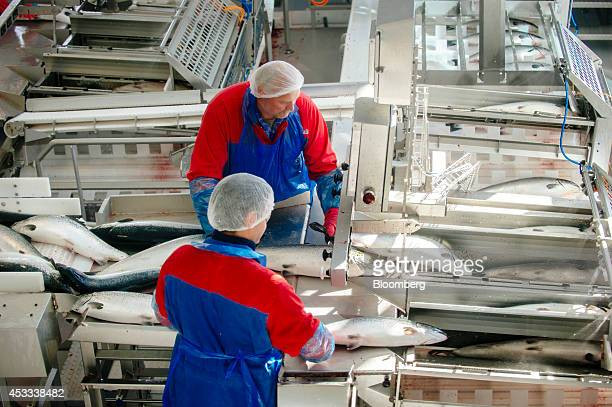 Workers process recently harvested whole farmed salmon on conveyor belts at a fish farm operated by Salmar ASA on the island of Froya Norway on...