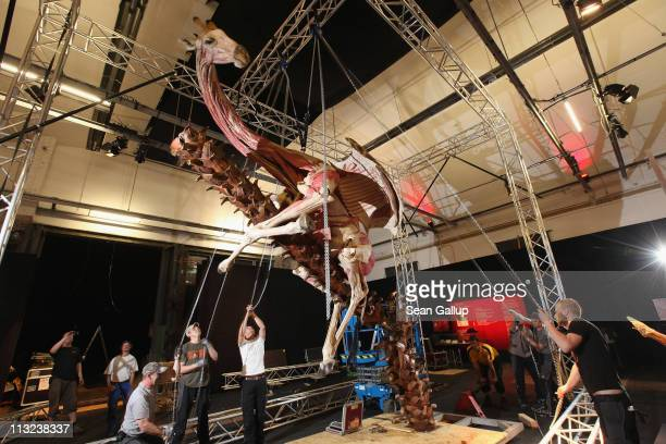 Workers pull on chains leading through a pulley system and supported by a truss in order to position a plastinated giraffe posed to look as if it is...