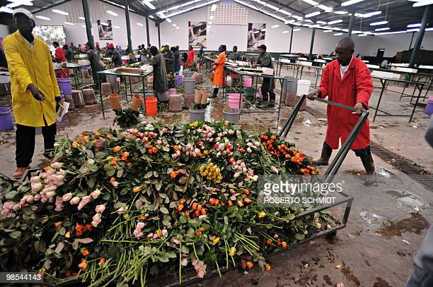 Workers push a cart loaded with discarded fresh roses at a flower exporter's farm in Naivasha Kenya on April 19 2010 The flowers which had been...