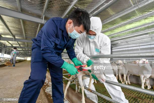 Workers put an ear tag to a sheep at an intelligent sheep farm on April 21, 2021 in Changxing County, Zhejiang Province of China.