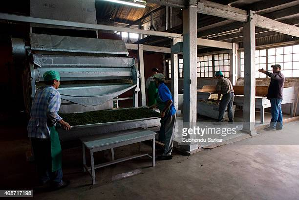 Workers put tea leaves into a drier after being rolled by a machine at Makaibari tea factory Set up in 1859 off Kurseong in the Darjeeling hills the...