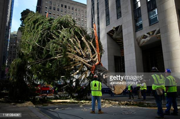 Workers raise the Rockefeller Center Christmas Tree in front of the Rockefeller Center in New York City on November 9, 2019. - The 77-foot tall tree...