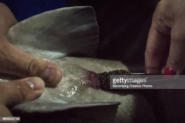 workers remove black caviar eggs from a live sturgeon fish - sturgeon stock pictures, royalty-free photos & images