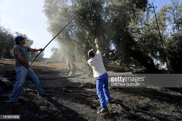 Workers remove olives from trees on March 6 2012 on a 40hectare farm in the southern Spanish village of Iznajar between Cordoba and Grenada Olive oil...