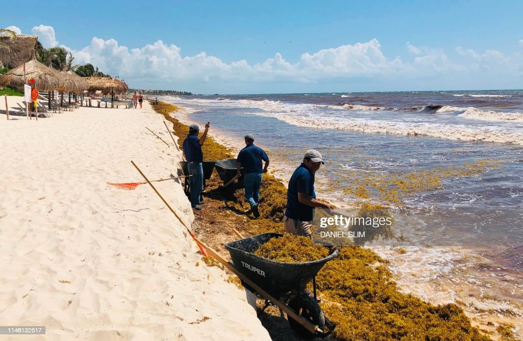 Workers remove Sargassum seaweed from the beach near Tulum in