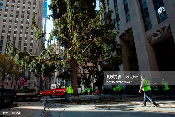 Workers secure the 75-foot Norway Spruce which will serve as Rockefeller Center' Christmas Tree, in New York on November 14, 2020.
