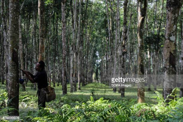Workers seen tapping rubber trees in the garden area of Asahan Regency Currently Indonesia has an area of 35 million hectares of rubber plantations...