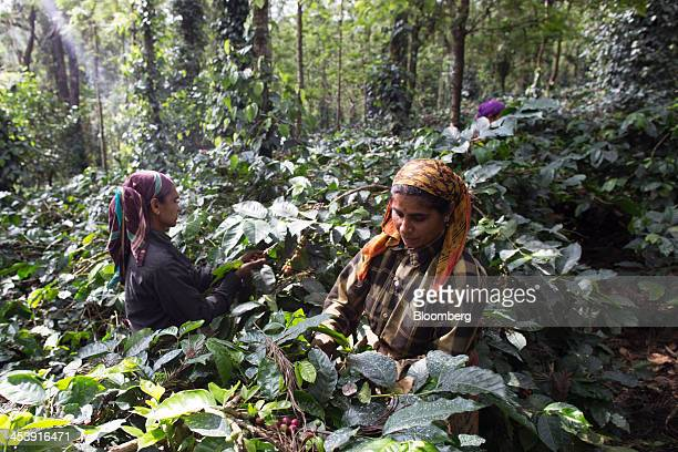 Workers selectively pick ripe arabica coffee berries at a coffee plantation in Madapura Karnataka India on Tuesday Dec 3 2013 Strong monsoon rainfall...