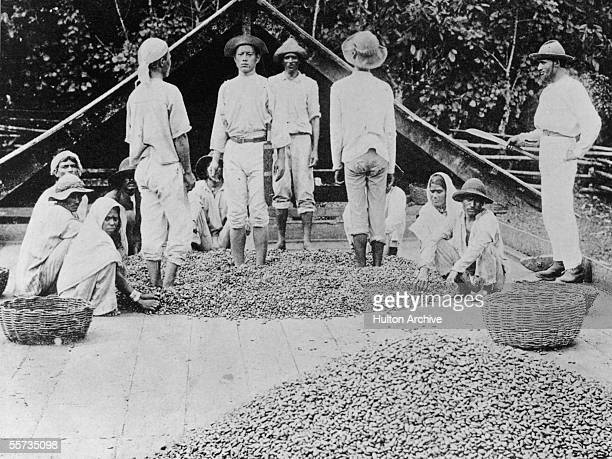 Workers separating the pulp from the bean during the cocoa production process in Trinidad 1894