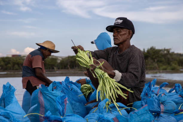 IDN: Workers Harvest Harvest in Indonesia