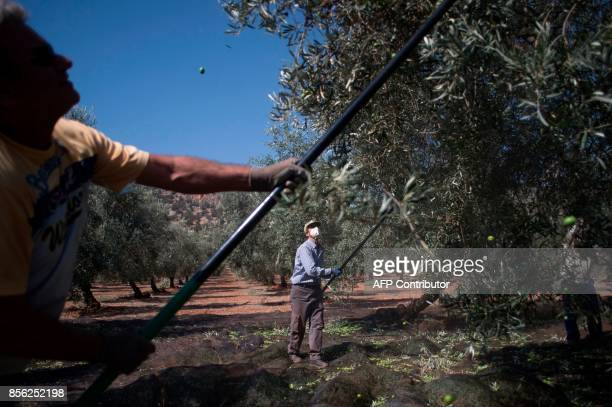 Workers shake olivetrees branches to harvest the olives in La Roda de Andalucia on September 29 2017 / AFP PHOTO / JORGE GUERRERO