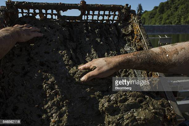Workers sift through a tray of mud and sand while sorting geoducks on a floating growing facility operated by the Taylor Shellfish Co near Olympia...