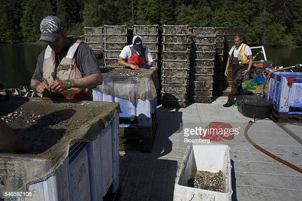 Workers sort and count geoducks on a floating growing facility operated by the Taylor Shellfish Co near Olympia Washington US on Tuesday May 10 2016...