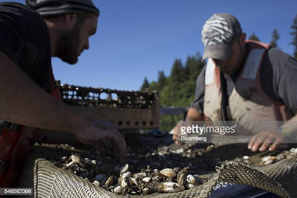 Workers sort and count young geoducks on a floating growing facility operated by the Taylor Shellfish Co near Olympia Washington US on Tuesday May 10...