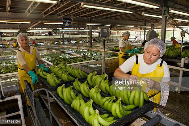 Workers sort and pack bananas at Dole banana plantation.
