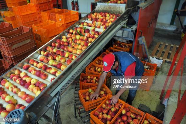 A workers sort the nectarines in the headquarters of the cooperative society La Jardiniere in IllesurTet on July 21 2017 / AFP PHOTO / RAYMOND ROIG