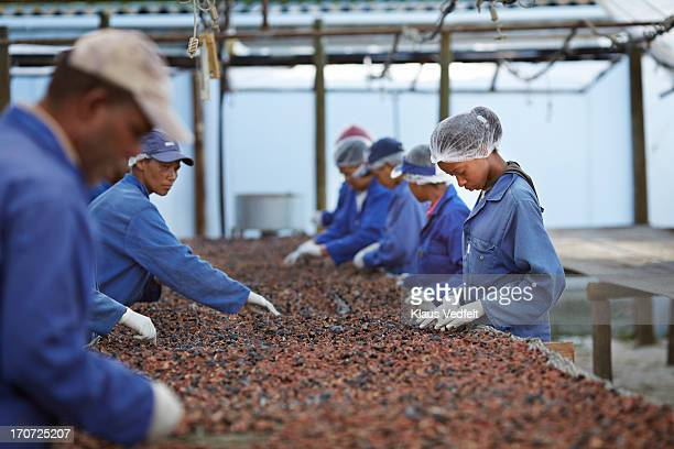 Workers sorting out fig at small fruit farm