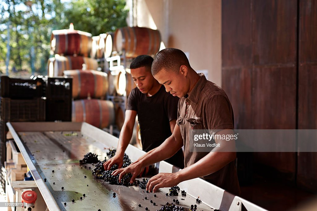 Workers sorting out grapes at winery : Stock Photo
