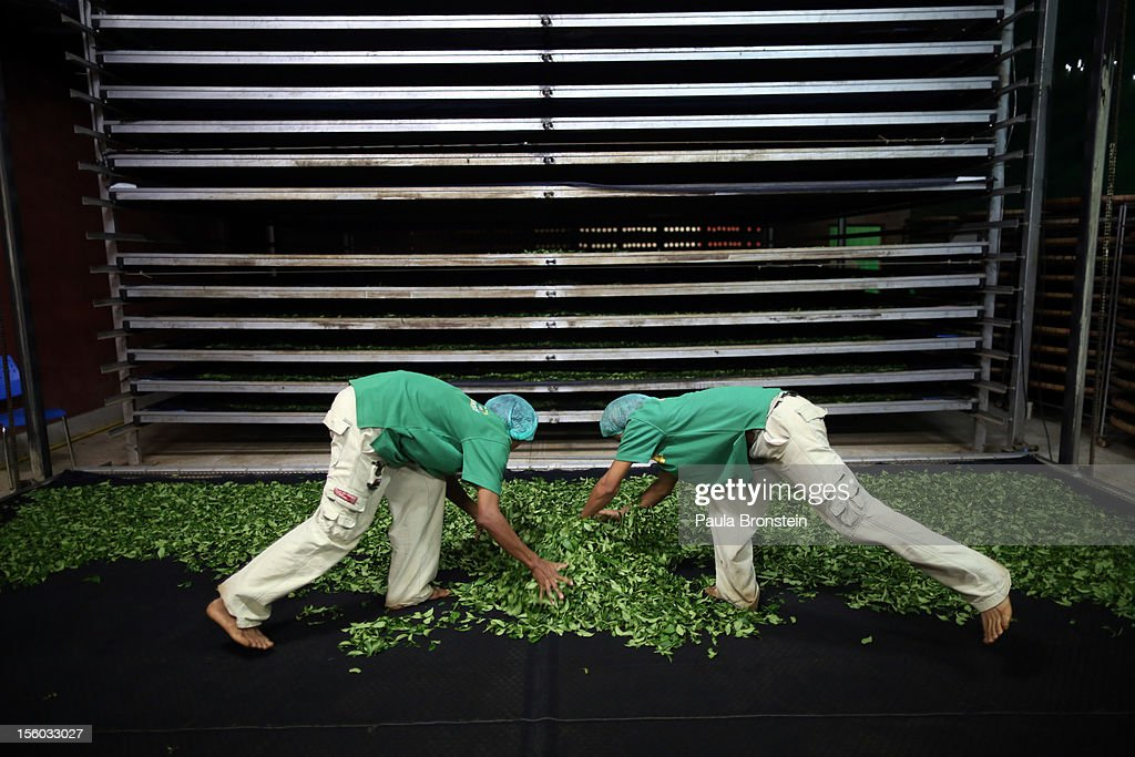 Workers spread out the freshly picked Oolong #17 tea leaves on a screen for drying during a harvest at the Suwirun Tea farm in the hills outside of Chaing Rai November 11, 2012 in Chiang Rai, Thailand. There are around 40 Akha hill tribe workers and 120 Burmese making 300 Thai that a day working on the family run Suwirun Organic tea farm. The farm has been in business around 38 years producing The Tea is harvested every 45 days collecting about 1.5 tons on average per harvest.