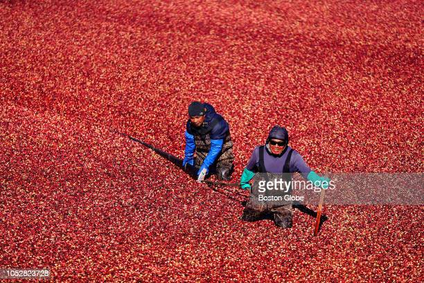 Workers tighten up the circle as they pull a long strip of plastic that corrals the cranberries to a suction hose in the bog as the AD Makepeace...