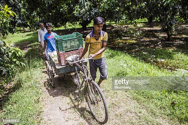 Workers transport recently harvested mangoes with a tricycle trailer in an orchard on the family farm of landowner Kunwar Vikram Jeet Singh in...