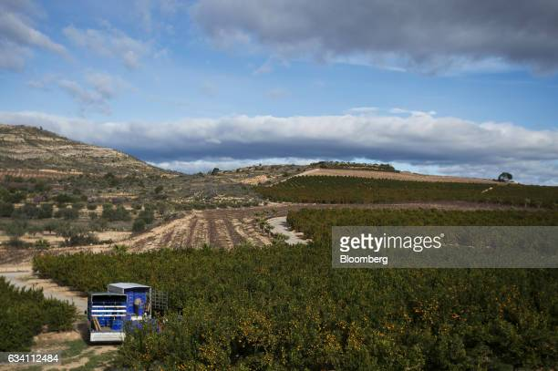 Workers trucks sit on a field of mandarin oranges during a harvest on a farm in Pedralba Spain on Monday Feb 6 2017 Spain's citrus output is seen up...