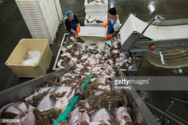 Workers unload crates of plaice onto a conveyor during fish sorting and cleaning ahead of auction at the port of Den Helder Netherlands on Friday Aug...