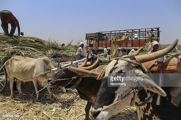 Workers unload sugarcane tops at a cattle shelter in Beed district Maharashtra India on Friday April 15 2016 Hundreds of millions of people in India...