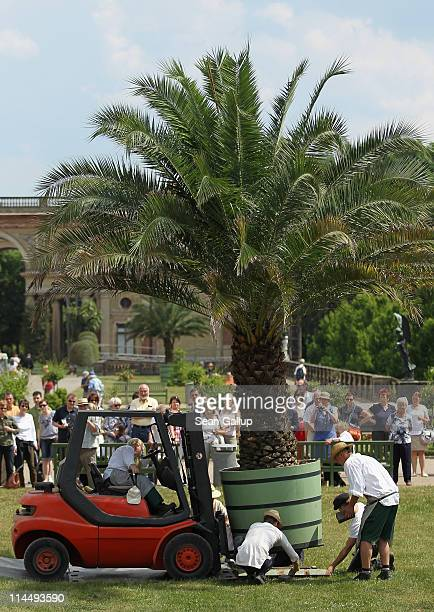 Workers use a forklift to carry a palm tree to its place in the gardens outside the Orangerie at Sanssouci Park on May 22 2011 in Potsdam Germany...