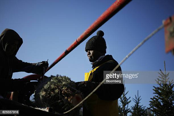 Workers use a Howey Tree Baler Corp machine to package trees at Brown's Tree Farm in Muncy Pennsylvania US on Wednesday Nov 23 2016 There are close...