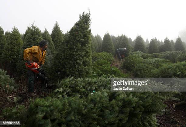 Workers use chainsaws to cut down Douglas Fir Christmas trees at the Holiday Tree Farms on November 18 2017 in Monroe Oregon The Christmas tree...