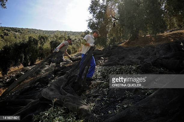 Workers use nets to collect olives from trees on March 6 2012 on a 40hectare farm in the southern Spanish village of Iznajar between Cordoba and...