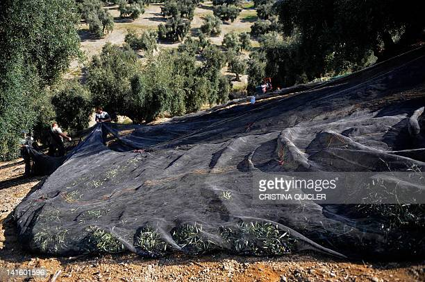 Workers use nets to remove olives from trees on March 6 2012 on a 40hectare farm in the southern Spanish village of Iznajar between Cordoba and...