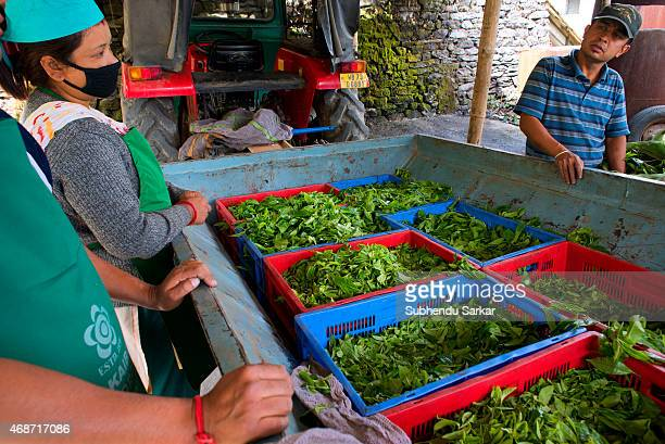 Workers wait to get plucked tea leaves weighed at Makibari tea factory Set up in 1859 off Kurseong in the Darjeeling hills the Makaibari estate is...