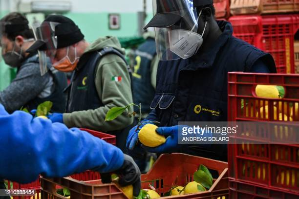 Workers wearing protection mask and face shield prepare lemons for packaging during harvest at the 'Costieragrumi De Riso' traditional lemon growing...