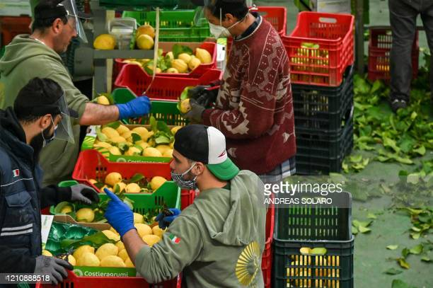 Workers wearing protective mask and face shield prepare lemons for packaging during harvest at the 'Costieragrumi De Riso' traditional lemon growing...