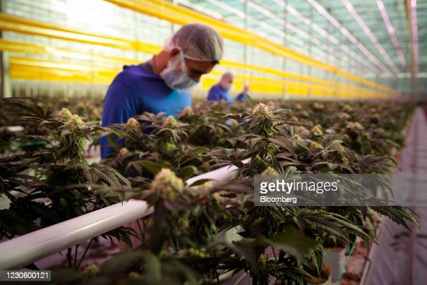 Workers wearing protective masks inspect cannabis plants inside the grow room at the Aphria Inc. Diamond facility in Leamington, Ontario, Canada, on...